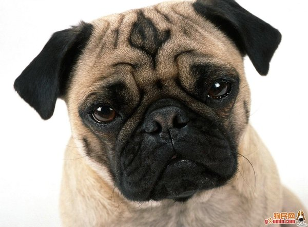 Pug named 'JoJo' - PugRodeo.com