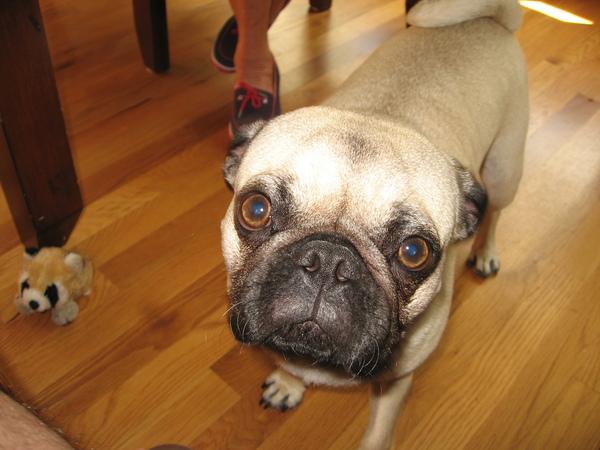 Pug named 'Sam the Ham' - PugRodeo.com