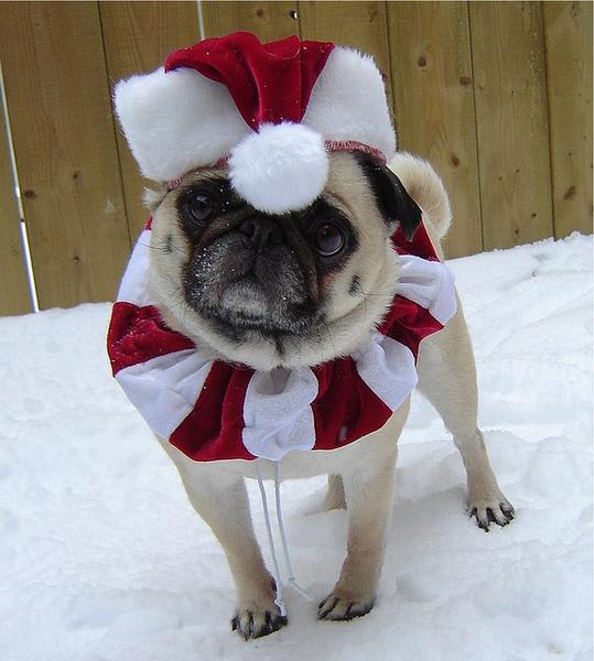 Pug named 'Santa Pug' - PugRodeo.com