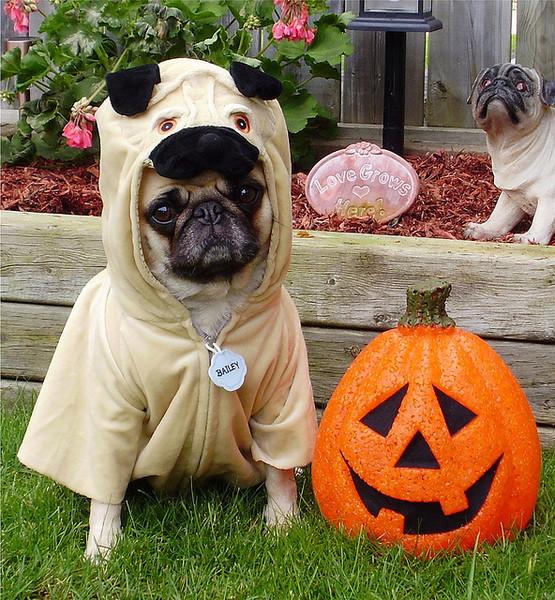 Pug named 'Cute As A Pug In A Pug! Bailey Halloween Costume' - PugRodeo.com