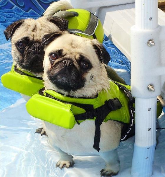 Pug named 'Bailey and Moe-Moe Pugs Swimming' - PugRodeo.com