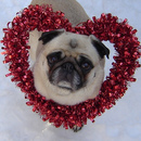 Thumbnail photo of a pug named 'Valentine Pug' - PugRodeo.com