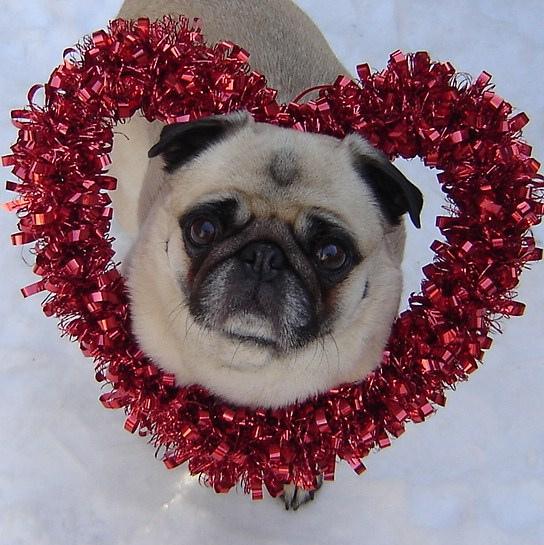 Pug named 'Valentine Pug' - PugRodeo.com