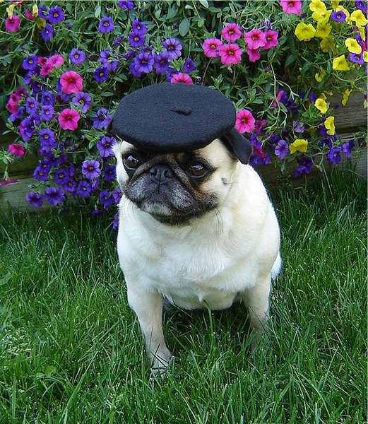Pug named 'Pug Beret' - PugRodeo.com