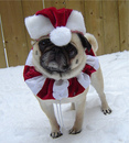 Thumbnail photo of a pug named 'Bailey The Elf Pug' - PugRodeo.com
