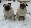 Thumbnail photo of a pug named 'Moe-Moe & Bailey Snow Pugs' - PugRodeo.com