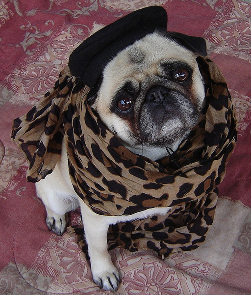 Pug named 'Pug In Leopard' - PugRodeo.com