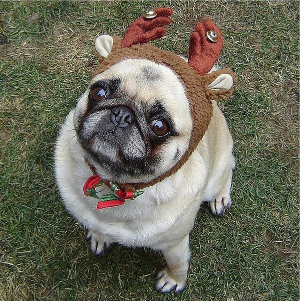 Pug named 'Compact Reindeer' - PugRodeo.com