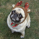 Thumbnail photo of a pug named 'Compact Reindeer' - PugRodeo.com