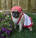 Thumbnail photo of a pug named 'Happy Canada Day' - PugRodeo.com