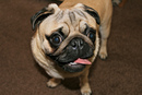 Thumbnail photo of a pug named 'Hugo' - PugRodeo.com