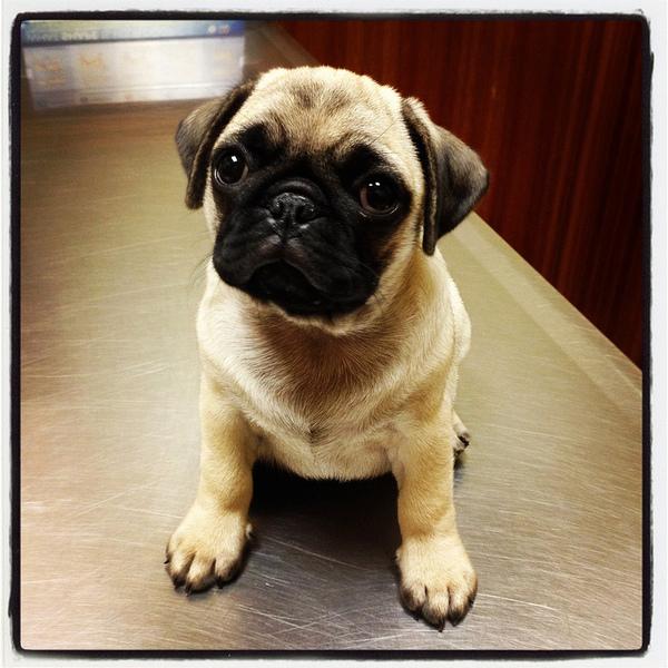 Pug named 'Pugs not Drugs' - PugRodeo.com