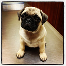 Thumbnail photo of a pug named 'Pugs not Drugs' - PugRodeo.com