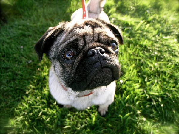 Pug named 'Gracie' - PugRodeo.com