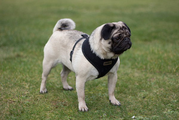 Pug named 'Gracie' - PugRodeo.com