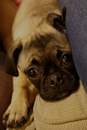 Thumbnail photo of a pug named 'Frank' - PugRodeo.com