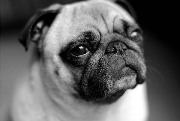 Pug named 'Miss Honey ' - PugRodeo.com