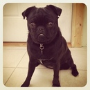 Thumbnail photo of a pug named 'Suki' - PugRodeo.com