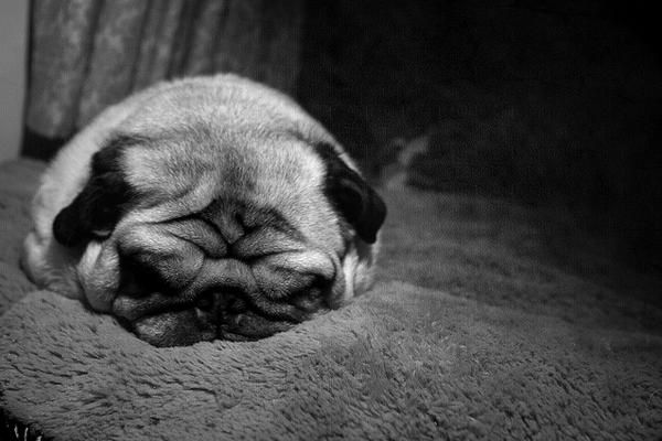 Pug named 'Snoring Pug' - PugRodeo.com