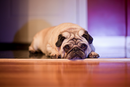 Thumbnail photo of a pug named 'Mylo the Pug' - PugRodeo.com