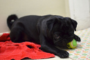 Thumbnail photo of a pug named 'Buzz Laying Down' - PugRodeo.com
