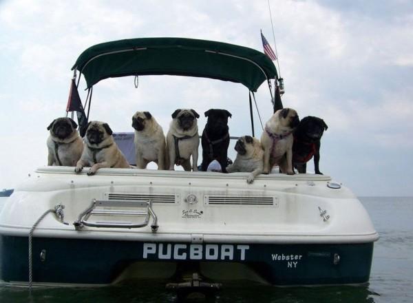 Pug named 'Pugboat Loveboat' - PugRodeo.com