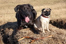 Thumbnail photo of a pug named 'Zoe the Pug and her best friend Ziva' - PugRodeo.com