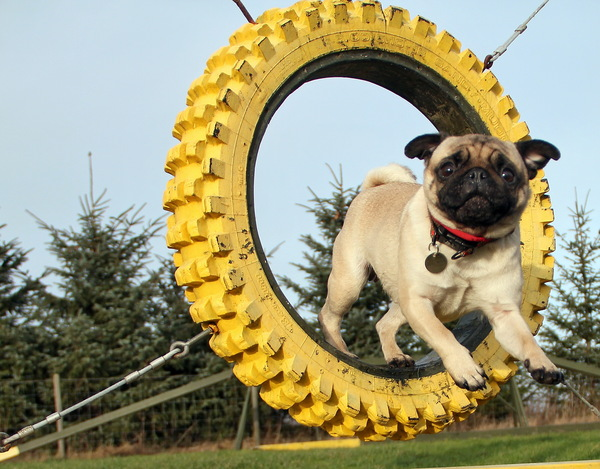 Pug named 'Zoe loves agility' - PugRodeo.com