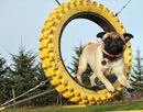 Thumbnail photo of a pug named 'Zoe loves agility' - PugRodeo.com