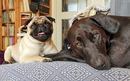 Thumbnail photo of a pug named 'Zoe and Ziva after play' - PugRodeo.com