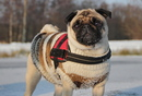 Thumbnail photo of a pug named 'Zoe in her winterdress' - PugRodeo.com