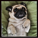 Thumbnail photo of a pug named 'Maggie' - PugRodeo.com