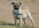 Thumbnail photo of a pug named 'Little big dog' - PugRodeo.com