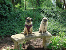 Thumbnail photo of a pug named 'Pugs in the spring garden' - PugRodeo.com