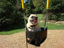Thumbnail photo of a pug named 'Pug in the park' - PugRodeo.com