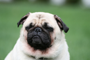 Thumbnail photo of a pug named 'Sleeping Pug' - PugRodeo.com