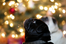 Thumbnail photo of a pug named 'Pug in the Lights' - PugRodeo.com