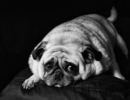 Thumbnail photo of a pug named 'Frank - My Cuddle Pug' - PugRodeo.com
