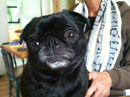 Thumbnail photo of a pug named 'Jamochie' - PugRodeo.com