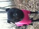 Thumbnail photo of a pug named 'Suki in the woods' - PugRodeo.com