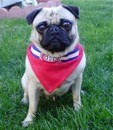Thumbnail photo of a pug named 'Montreal Canadiens Pug Hockey Fan' - PugRodeo.com