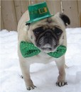 Thumbnail photo of a pug named 'St. Patrick Day Pug' - PugRodeo.com