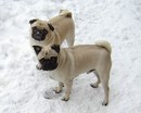 Thumbnail photo of a pug named 'Snow Pugs' - PugRodeo.com