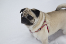 Thumbnail photo of a pug named 'Lil' - PugRodeo.com