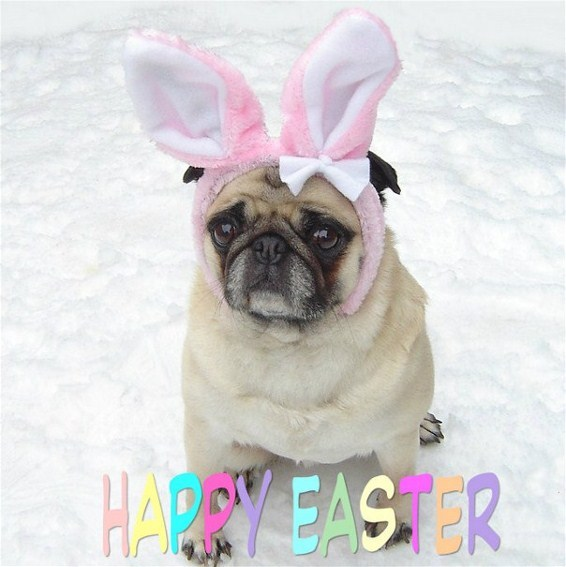 Pug named 'Pug Easter Bunny Rabbit' - PugRodeo.com