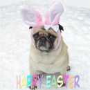 Thumbnail photo of a pug named 'Pug Easter Bunny Rabbit' - PugRodeo.com