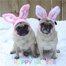 Thumbnail photo of a pug named 'Cute Pug Easter Bunnies' - PugRodeo.com