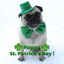 Thumbnail photo of a pug named 'St. Patrick's Day Pug' - PugRodeo.com