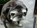 Thumbnail photo of a pug named 'Winston' - PugRodeo.com