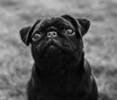 Thumbnail photo of a pug named 'Peppa Pug' - PugRodeo.com